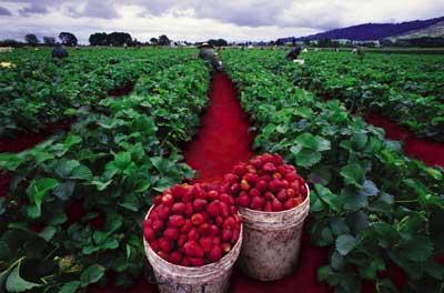 Kebun Strawberry Bandung
